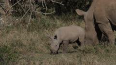 rhino calf jumping, medium close shot