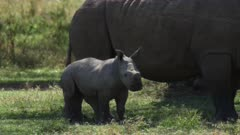 rhino mother with calf in green forest, medium close shot