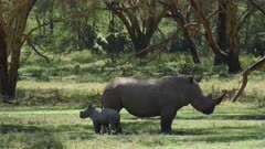 rhino mother with calf in green forest, medium wide shot