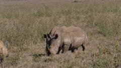 rhinos meeting in grassland, medium wide shot
