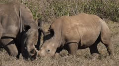 juvenile rhinos cuddling with each other in grassland, close shot