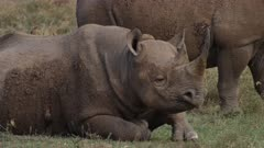 black rhinos with wounds resting in grassland, oxpecker drinks blood, medium close shot