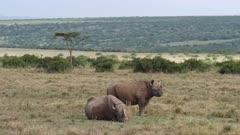 black rhinos resting in grassland, medium wide shot