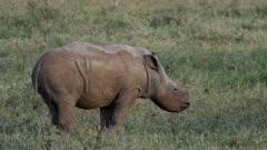 white rhino calf in green grassland, close shot