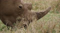 white rhino grazing in grassland, very close shot