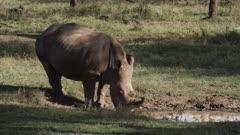 white rhino drinks at waterhole, medium shot