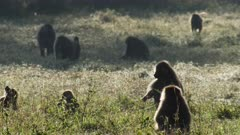 baboon herd grazing in the gras in the morning light