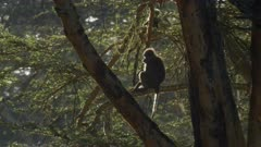 olive baboons sitting in acacia trees in the morning light