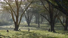 herd of olive baboons in acacia forest in the morning light