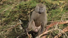 olive baboon male on a branch in acacia forest