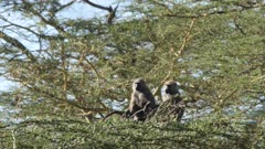 olive baboons sitting in acacia trees