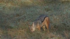 jackal eating an impala leg, medium shot