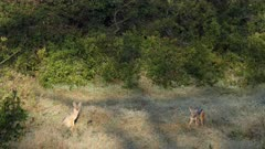 black backed jackals eating an impala leg, wide shot