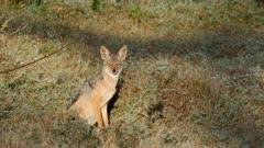 black backed jackal watching out, medium shot