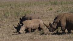 white rhino group with juveniles grazing, medium shot