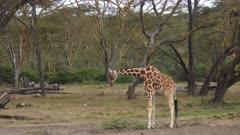 juvenile giraffe drinking in forest, medium wide shot