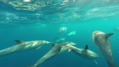 Common Dolphins Pod Underwater Swimming Fast California