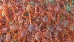 Pelagic Red Crab Tuna Crab Squat Lobster on Rocks Swarm School 4K