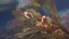 Pelagic Red Crab Tuna Crab Squat Lobster on Kelp Swarm School 4K