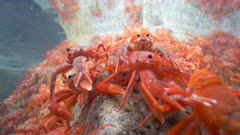 Pelagic Red Crab Tuna Crab Squat Lobster on Rock Close Swarm School 4K