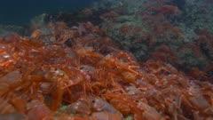 Pelagic Red Crab Tuna Crab Squat Lobster on Rock Swarm School 4K
