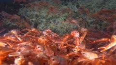 Pelagic Red Crab Tuna Crab Squat Lobster on Rock Close Swarm School 4K