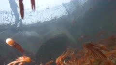 Pelagic Red Crab Tuna Crab Squat Lobster Swimming Swarm School 4K