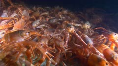 Pelagic Red Crab Tuna Crab Squat Lobster on Rock Swarm School 4K