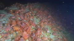 Pelagic Red Crab Tuna Crab Squat Lobster on Rocks Swarm School 4K