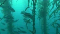Black Rockfish in Kelp Forest