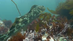 Lingcod Swimming Away from Camera Following Kelp Forest