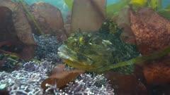 Cabezon on Reef Hiding in Algae