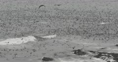Massive Gathering of Sea Birds in California Pelicans Common Murres Western Gull Shearwaters