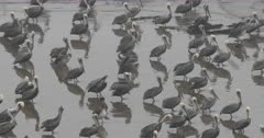 Brown Pelicans on Beach Gathered