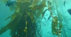 Blue Rockfish School in Kelp Forest California Sebastes mystinus