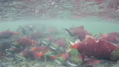 Sockeye Salmon spawning in Alaska, swimming out of a lake and up a river mouth.  Juvenile salmon also visible.