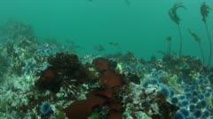 Sea Urchins Barren in Progress