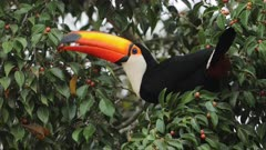 Toucan on branch eating red small fruits from tree in the Amazon