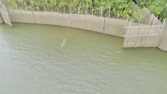 River dolphin at wall fishery (dolphins work with fisherman here)