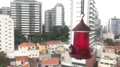 Swallow tailed hummingbird in town flying and feeding