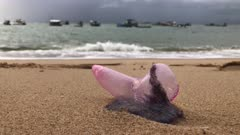 Dead marine life jellyfish at a beach in Brazil