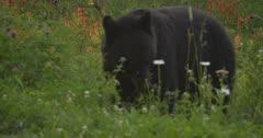 Black Bear Browsing