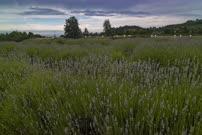 Time Lapse 4K - Lavender Field