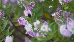 Video 4k - Bumblebee flying from flower to flower, looking for pollen