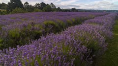 Time lapse of a lavender field in southern Chile, more specifically in Frutillar