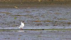 Birds in a wetland, mostly seagulls