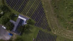 Aerial Drone - Large lavender plantations recently blooming in summer, in the city of Frutillar, southern Chile