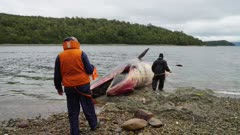 whale found dead in the southern seas of chile