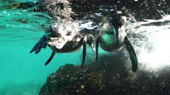 Two Galapagos Penguins underwater on the shore of a rocky reef