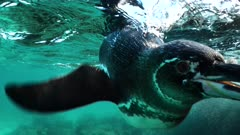Galapagos Penguin underwater swims towards camera and dives